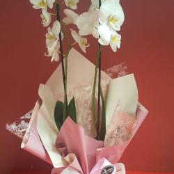 Orquidea farenopolis